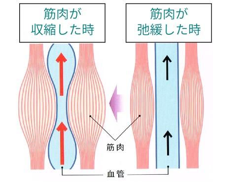 筋肉のポンプのイメージ
