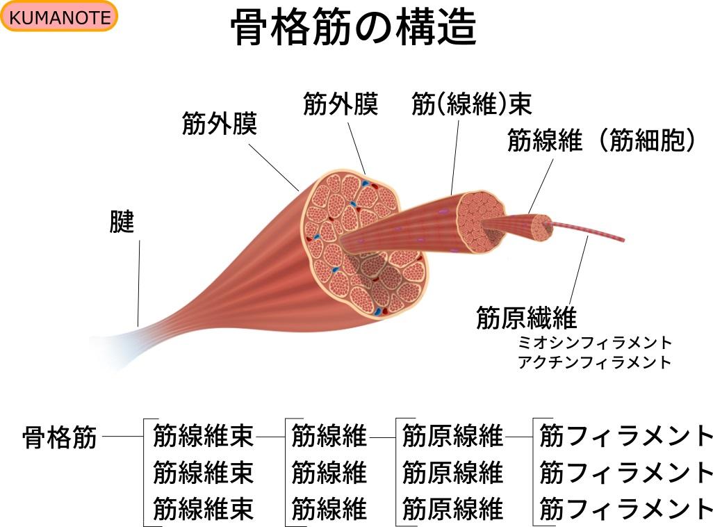 骨格筋の構造