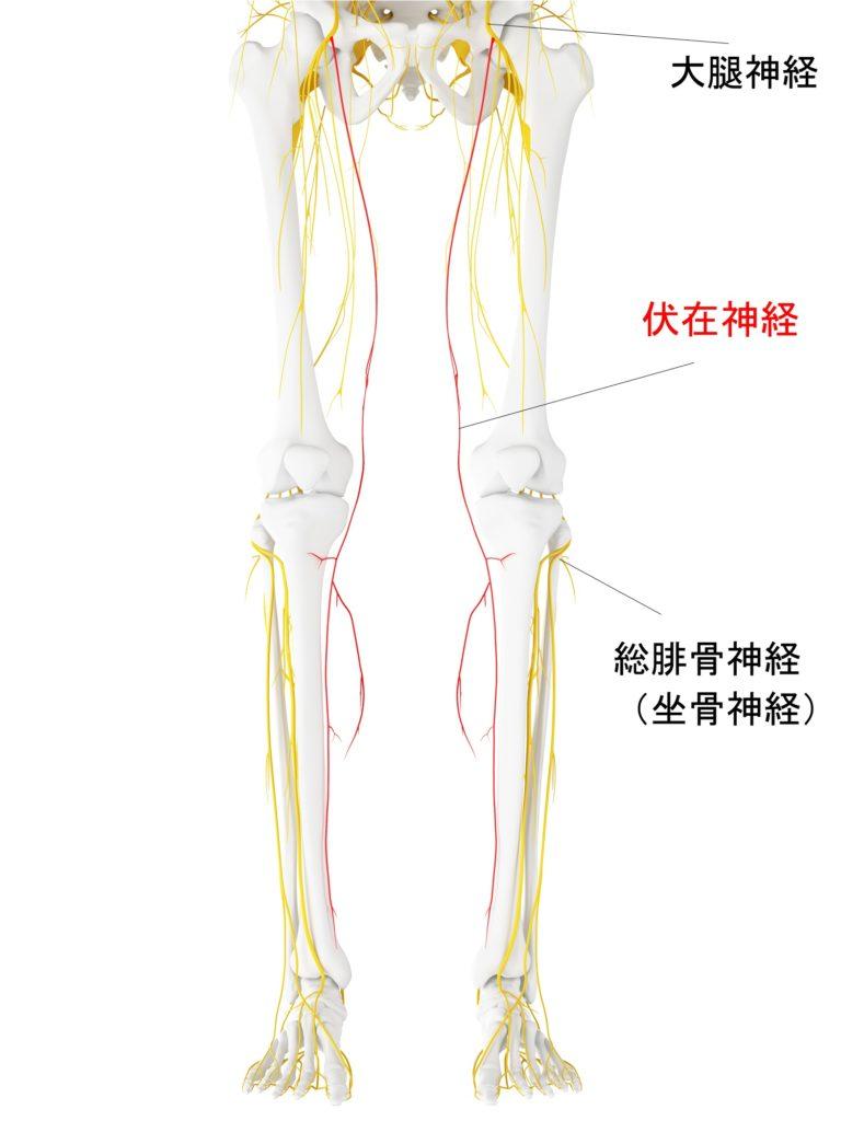 伏在神経から膝痛が起こる