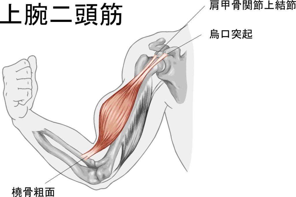 上腕二頭筋解剖